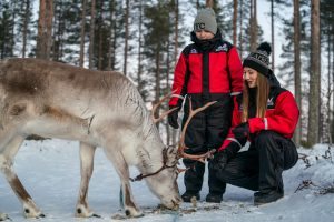 Feeding reindeer on our farm in Rovaniemi, Lapland