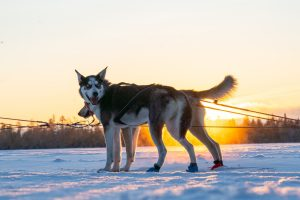 Huskies on our husky farm in Rovaniemi, Lapland, Finland