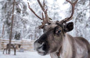 Reindeer farm Piiru Forest in Rovaniemi, Lapland