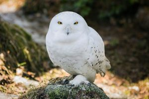 Snowy Owl in Ranua Zoo in Lapland
